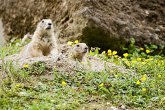Free Prairie Dogs Royalty Free Stock Images - 46061409