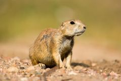 Prairie Dogs. A prairie dog looking at you with narrow DOF Stock Image