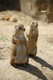 Prairie dogs Royalty Free Stock Photos