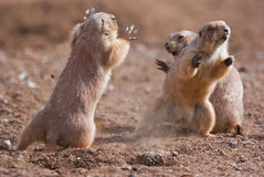 Prairie Dogs. In the wild fighting to show who is boss royalty free stock photo