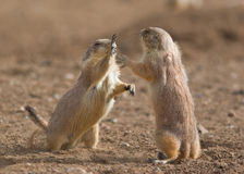 Prairie Dogs. In the wild fighting to show who is boss Royalty Free Stock Image