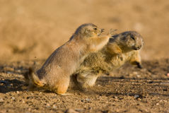 Prairie Dogs. In the wild fighting to show who is boss Stock Images