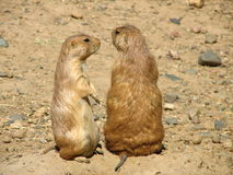 Prairie Dogs. A pair of prairie dogs royalty free stock images