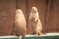 Prairie dogs. Front and back of a prairie dog Stock Images