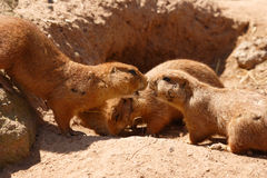 Prairie Dogs. Two prairie dogs nose to nose while a third eats Royalty Free Stock Photo