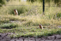 Prairie Dogs. Prairie Dog peeking out from a burrow against blurred background Stock Images