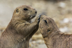 Prairie dogs arguing Stock Photography