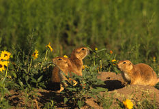 Prairie Dogs at Burrow Royalty Free Stock Image