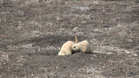 Prairie Dogs at Burrow stock video footage