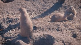 Prairie dogs at a burrow entrance