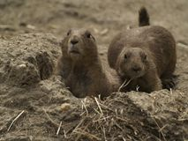 2 Prairie Dogs in Burrow Entrance Looking Forward. Two black-tailed prairie dogs are in the burrow entrance keeping a lookout for predators and other trouble royalty free stock photography