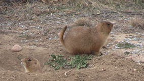 Prairie Dogs at Burrow stock footage