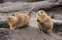 Prairie dogs burrowing. A pair of prairie dogs burrowing and feeding on some branches Royalty Free Stock Photo