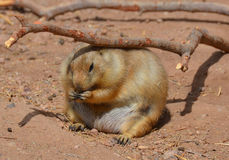 Prairie dogs Stock Image