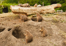 Prairie dogs. A close up of the group of prairie dogs in Zoo stock image