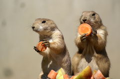 prairie dogs couple 1 Royalty Free Stock Photo