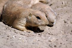 prairie dogs couple resting Royalty Free Stock Images