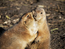 Prairie dogs. Cuddling and kissing stock photography