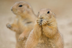 Prairie Dogs (Cynomys). Two Prairie Dogs (Cynomys).  The mammal in the forground is nibbling on some food with his paws up to his mouth Stock Image