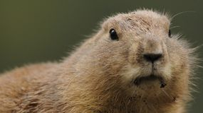 Prairie dogs (Cynomys)  Stock Photo