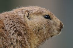 Prairie dogs (Cynomys)  Royalty Free Stock Photo