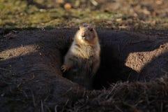Prairie dogs (Cynomys) Royalty Free Stock Photos