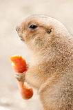 Prairie dogs (Cynomys) Stock Images