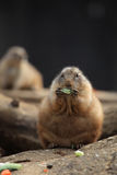 Prairie dogs (Cynomys ludovicianus) eating Stock Photography