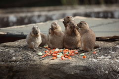 Prairie dogs (Cynomys ludovicianus) eating Stock Photos