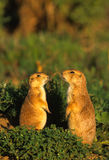 Prairie Dogs Discussing matters. Two prairie dogs standing up outside their burrow discussing their day Royalty Free Stock Photo