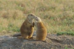 Prairie Dogs Stock Photos