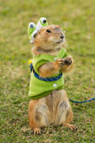 Prairie dogs dress up as a green frog standing upright Stock Photo