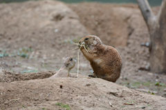 Prairie dogs Royalty Free Stock Photo