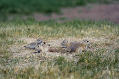 Prairie Dogs family in the fields Royalty Free Stock Image