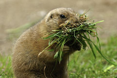 Prairie Dogs with food Royalty Free Stock Images
