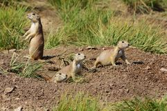 Prairie dogs. Stock Photography