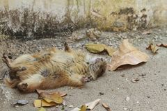 Prairie dog sleeping. Prairie dogs genus Cynomys are herbivorous burrowing rodents native to the grasslands of North America royalty free stock photography