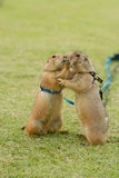 Prairie dogs getting a kiss Stock Photography