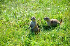 Prairie Dogs in a green field stock photo