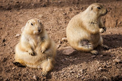 Prairie dogs on ground Stock Images