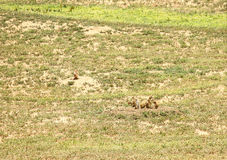 Prairie Dogs. A group of prairie dogs playing outside their den stock photo