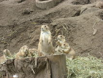 Prairie Dogs. A group of prairie dogs with some eating and one standing guard royalty free stock photography