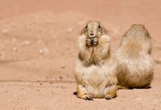 Prairie dogs having lunch. Two prairie dogs having lunch in the sun Royalty Free Stock Photo