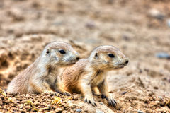 Prairie Dogs in High Dynamic Range hdr Royalty Free Stock Photo