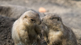 Prairie dogs interacting Royalty Free Stock Photo
