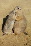 Prairie dogs kissing Stock Photo