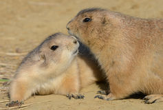Prairie Dogs kissing Stock Photography