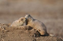 Prairie dogs kissing Stock Photos