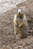 Prairie Dogs on Lookout. Clouse up Royalty Free Stock Image