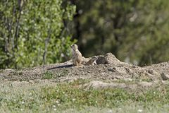 Prairie Dogs on the Lookout. In Theodore Roosevelt National Park in North Dakota Stock Images